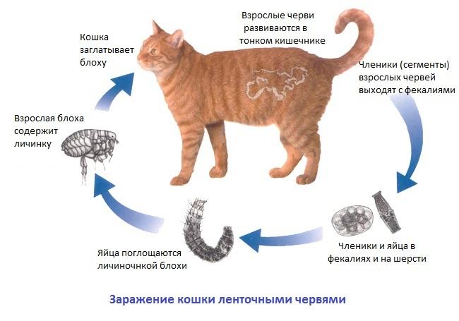 Что делать если глисты у кошек в кале