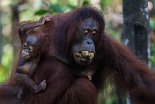 orangutan_tanjung-puting-4