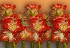 Image of Light Painting Amaryllis