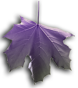 Image of Purple falling Leaf is on the Homepage.
