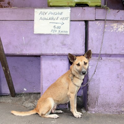 dog chained to a purple wall below handwritten sign for a pay phone