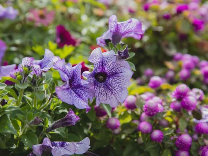 petunia flowers growing in garden