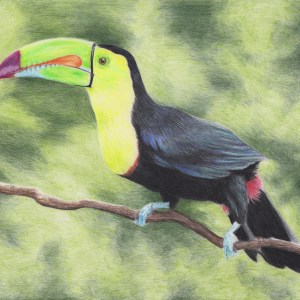 Final Toucan Drawing