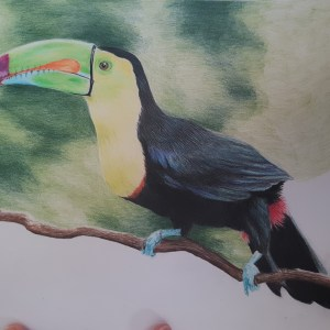 Toucan Drawing Work in progress shots