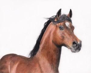 Arabian Horse fine art print
