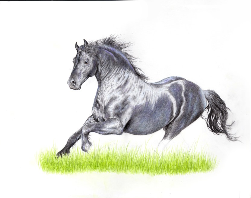 friesian horse drawing wip