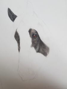 shire horse portrait in progress 2