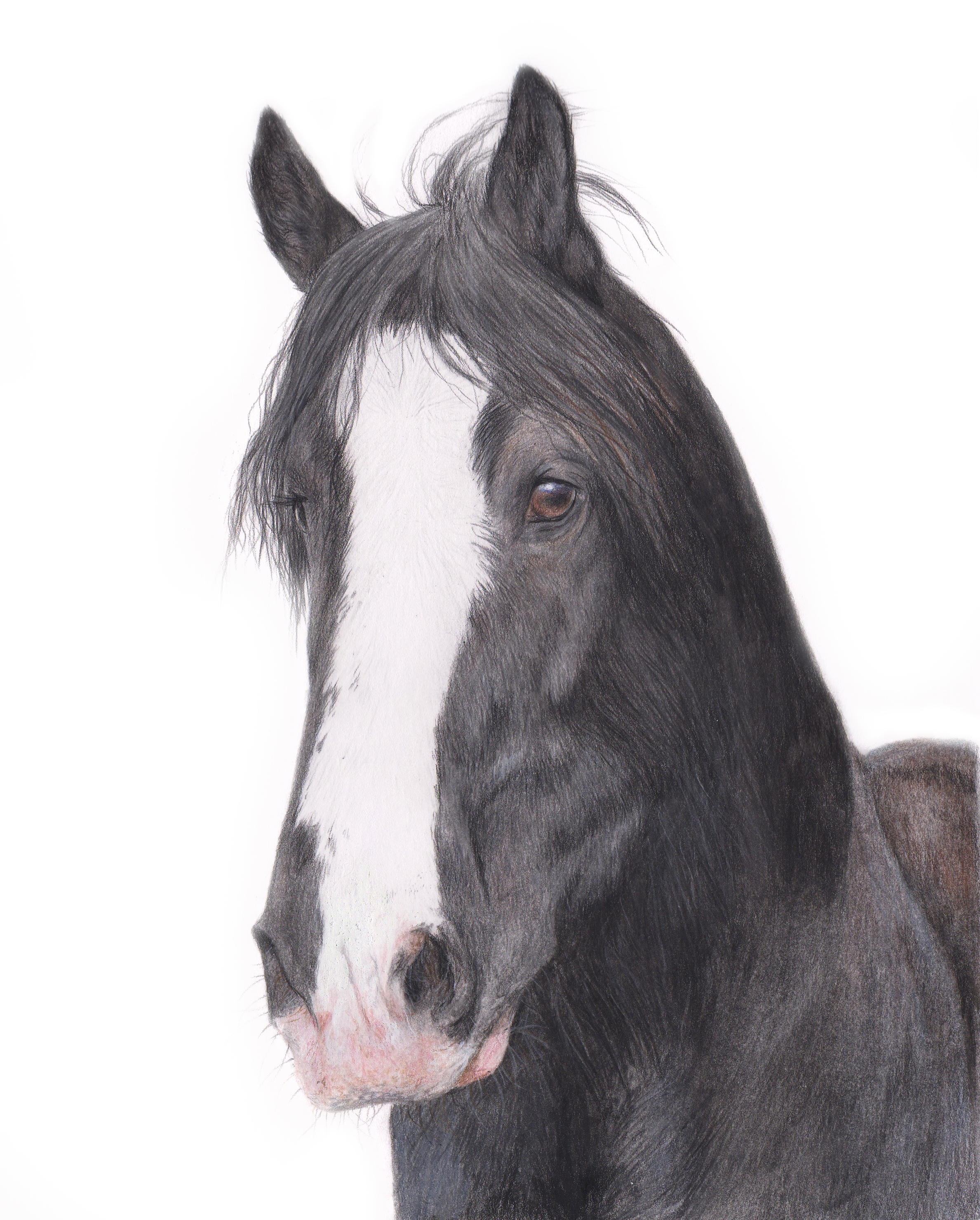 Shire horse portrait completed