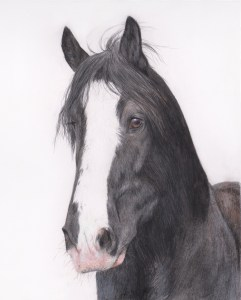 shire horse portrait in progress 4