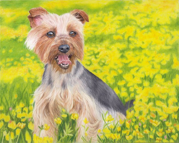 yorkshire terrier fine art print
