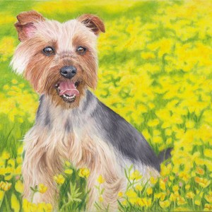 yorkshire terrier fine art print