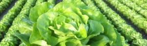 salatfeld farbig kopfsalat