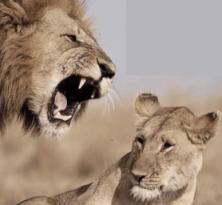 Sexist Lion