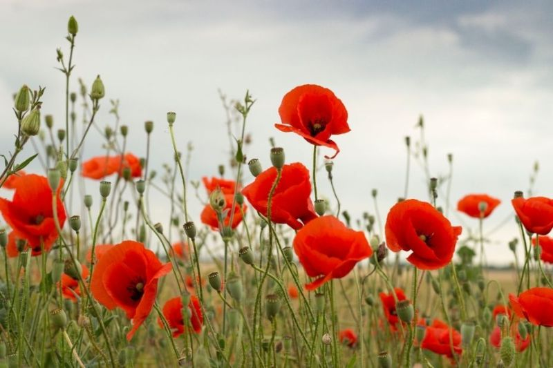 Remember Pither, poppy fields