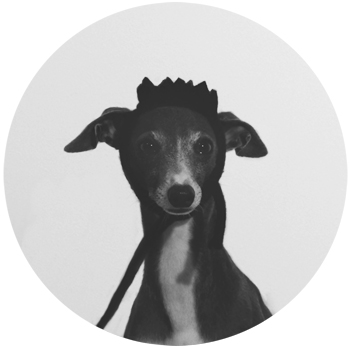 Darco / italian greyhound