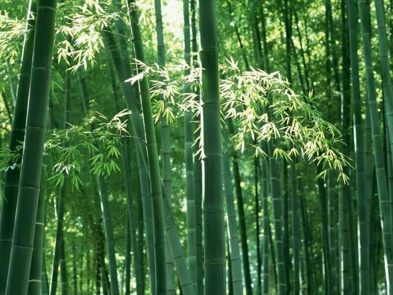 bambu gombong