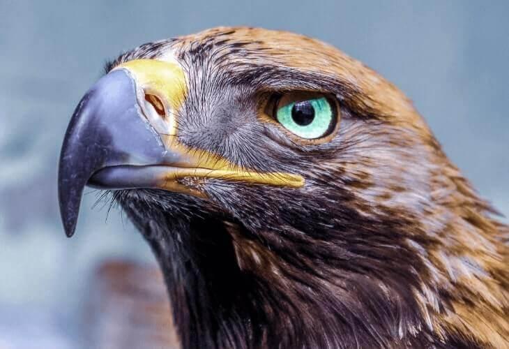 burung rajawali pemakan daging