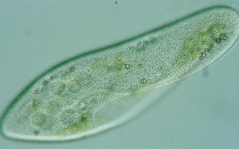 contoh hewan avertebrata paramecium