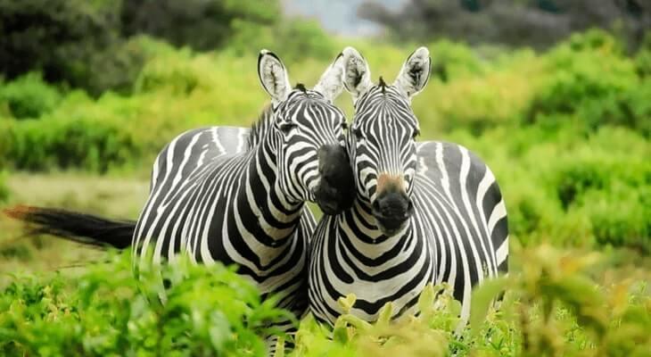 hewan zebra pemakan tumbuhan