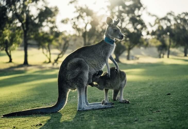 kanguru contoh hewan mamalia