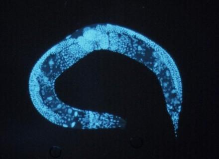 Enlarged_c_elegans