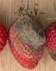 感染灰黴病菌(Botrytis cinerea)的草莓。 圖片來源:Wiki