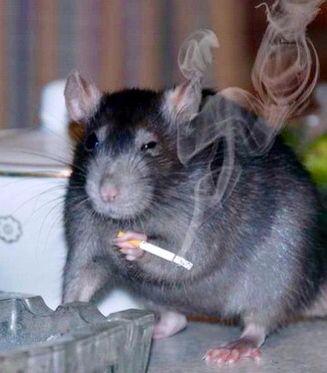 rat smoking
