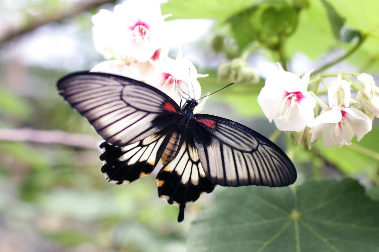 A grey and black butterfly on pink and white flowers.