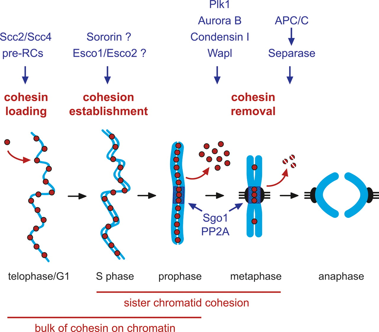 The Cohesin Complex And Its Roles In Chromosome Biology