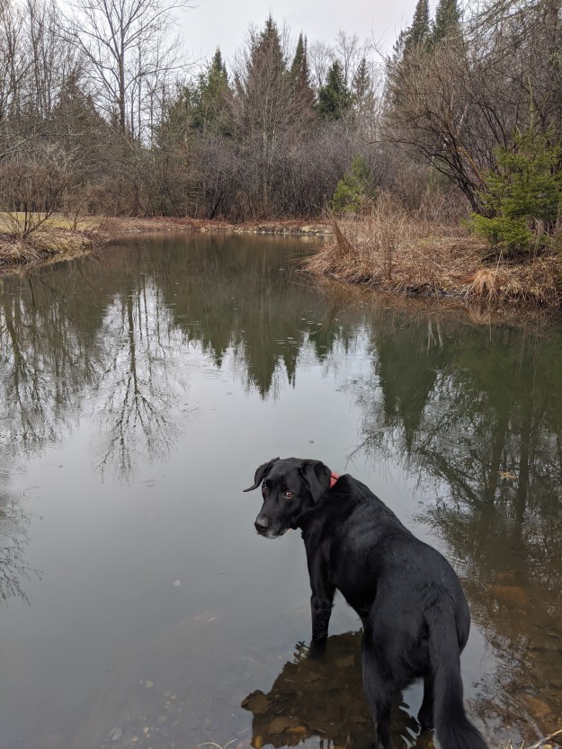 Labrador standing at edge of pond