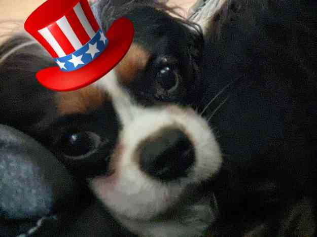 Patriotic Pups for the Fourth of July 27