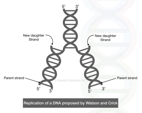 The semi-replication model suggested by Watson and Crick.