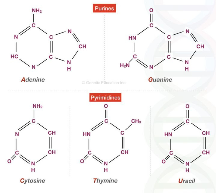 Different types of purines bases and pyrimidine bases present into the nucleic acid.