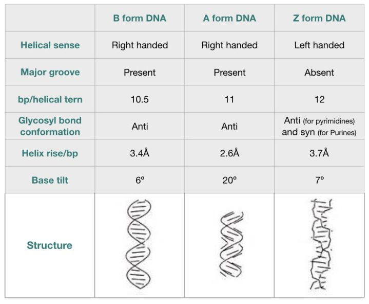 Comparison of the characteristics of B-DNA, A-DNA and Z-DNA.