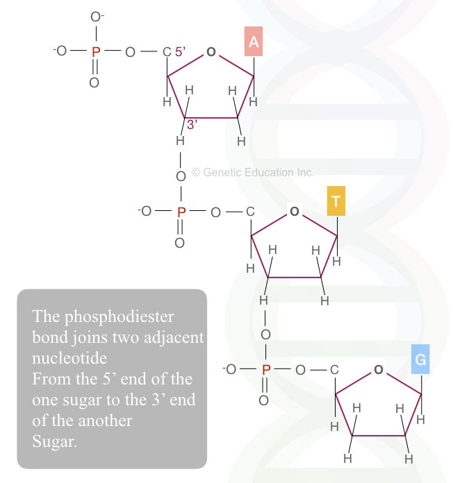 The long chain of the nucleotides joined by the phosphodiester bonds.