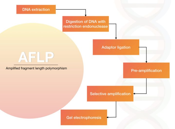 Different steps of amplified fragment length polymorphism: AFLP
