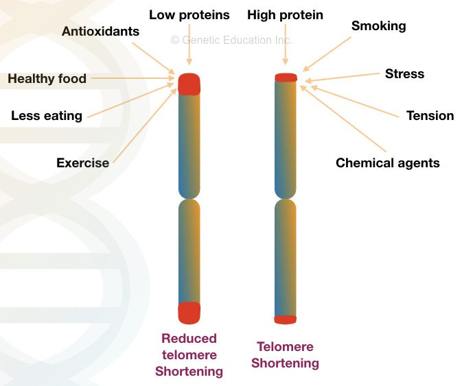 Telomeres and ageing