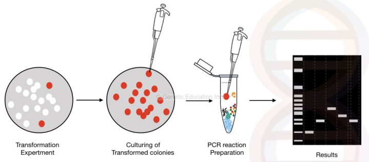 What is colony PCR?