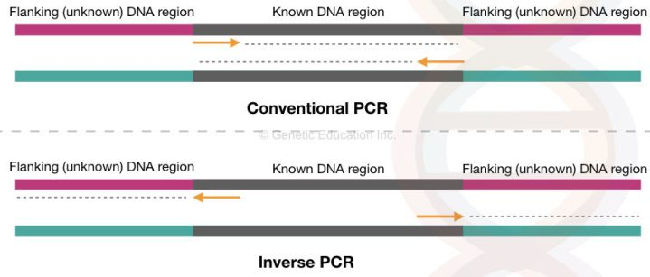 Inverse PCR: Principle, Procedure, Protocol and Applications
