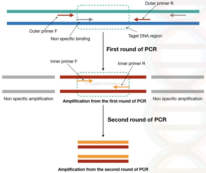 The amplification of template using first set of primers and second set of primers in the nested PCR.