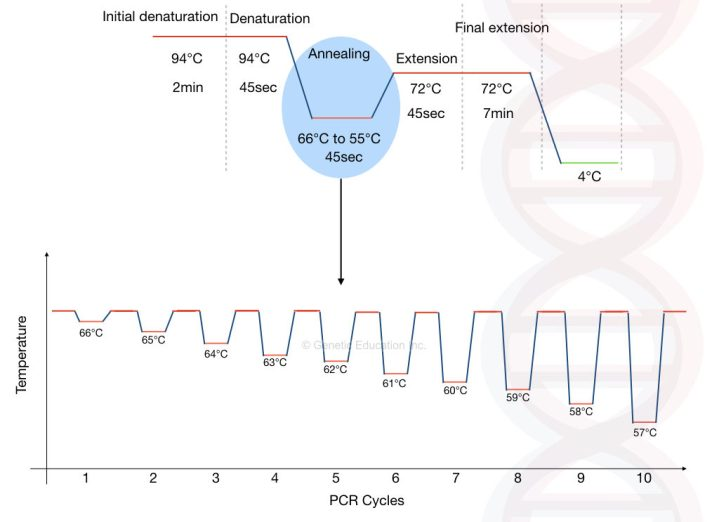 Graphical representation of sequential decrease of annealing in the touchdown PCR