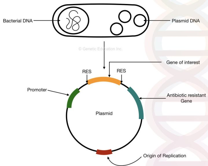 The structure of the bacterial plasmid DNA with, the origin of replication, antibiotic resistance gene, promoter and gene of interest.