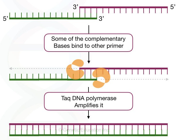"""Primer Dimer"": Zones DNA amplification by pairing with foe"