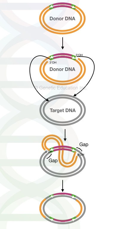 A complete process of replicative transposition.