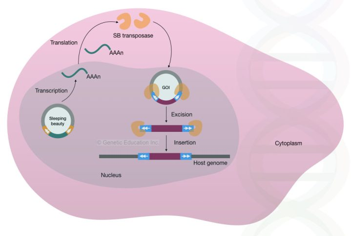 The mechanism of how the sleeping beauty transposons transfer DNA into the genome.