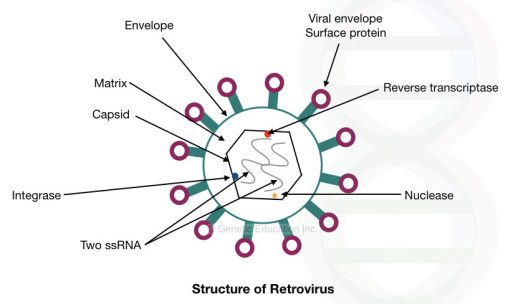 The structure of the retrovirus.