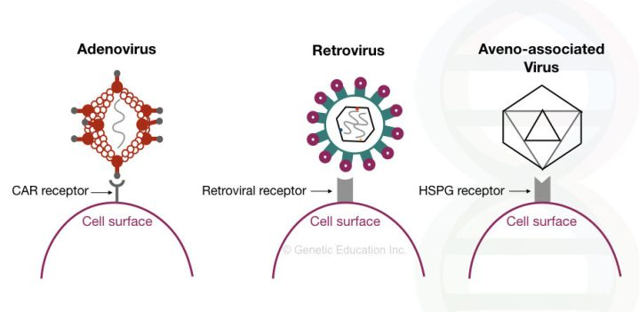 Different viral vectors of gene therapy and their receptors on the cell surface.