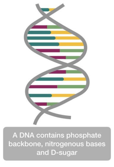 The structure of DNA with phosphate, sugar and nitrogenous bases.