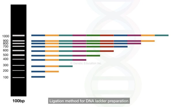 Ligation based DNA ladder development