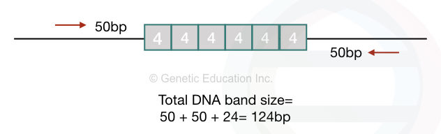 Calculating the PCR amplicon size using the STR repeat length.